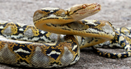 Biggest-Snakes -The-Reticulated-Python
