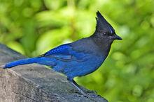 Blue-Jay-3.jpg