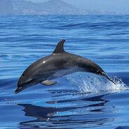 Bottlenose dolphin (Tursiops spp.)