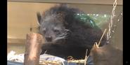 Cincinnati Zoo Binturong