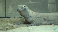 Columbus Zoo Komodo Dragon (V2)