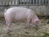 Paul the Pig