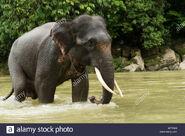 Elephas maximus sumatranus