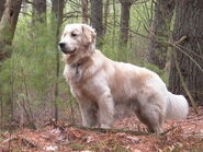 Golden Retriever standing Tucker