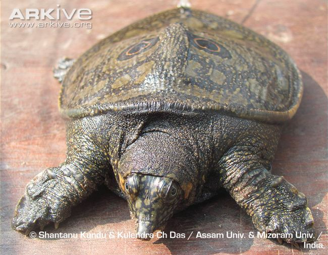 Black Soft-Shell Turtle