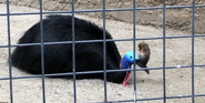 LA Zoo Cassowary