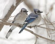 Male and Female Blue Jays