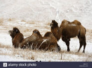 Male and Female Domestic Bactrian Camels