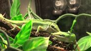 Male and Female Green Anoles