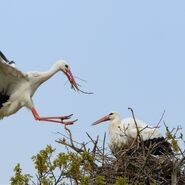 Male and Female White Storks