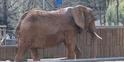Memphis Zoo Elephant