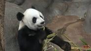Memphis Zoo Panda (V2)