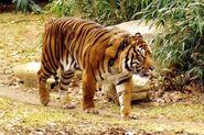 Panthera tigris balica
