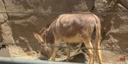 San Diego Zoo Donkey