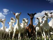 Trip of Goats