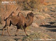 Wild-Bactrian-camel-walking