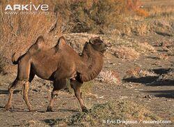 Wild-Bactrian-camel-walking.jpg