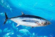 10742756-albacore-tuna-fish-thunnus-alalunga-underwater-ocean.jpg