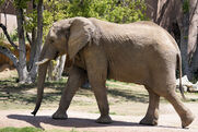 African Elephant (Chaffe Zoological Gardens)