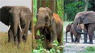 Asian Elephants vs African Forest Elephants vs African Savanna Elephants