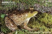 Bullfrog, American