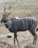 Cincinnati Zoo Kudu
