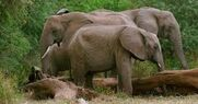 Forest Elephants in the Savanna
