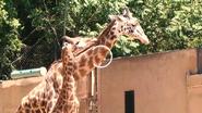 Greenville Zoo Giraffe (V2)