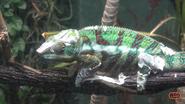 Memphis Zoo Chameleon