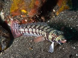 Blackbanded Sandperch
