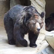 Tibetan bear.jpg