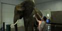 Wilstem Ranch Elephant