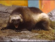Zoboomafoo Wolverine