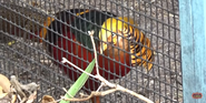 Zoo Miami Pheasant Bird