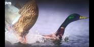 Born To Move Ducks
