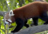CITIRWN Red Panda