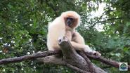 Cincinnati Zoo Lar Gibbon