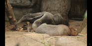 Cleveland Metroparks Zoo Anteater and Capybara