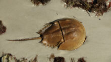HorseshoeCrab-Main.jpg