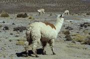 Huacaya Alpaca.jpg