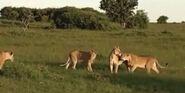 HugoSafari - Lion11