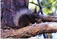 Kaibab squirrel 3