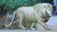 Katanga Lion ZTX