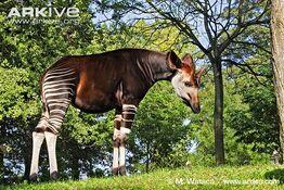Male-okapi-side-profile.jpg