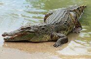 Nile Crocodile (V3)