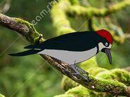 Rileys Adventures Acorn Woodpecker