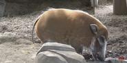 San Diego Zoo Big Hog