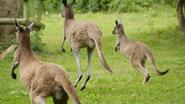 The Zoo Kangaroos