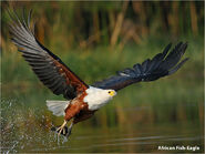 A-african-fish-eagle-gv