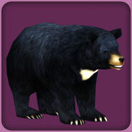 Asiatic Black Bear (Blue Fang)